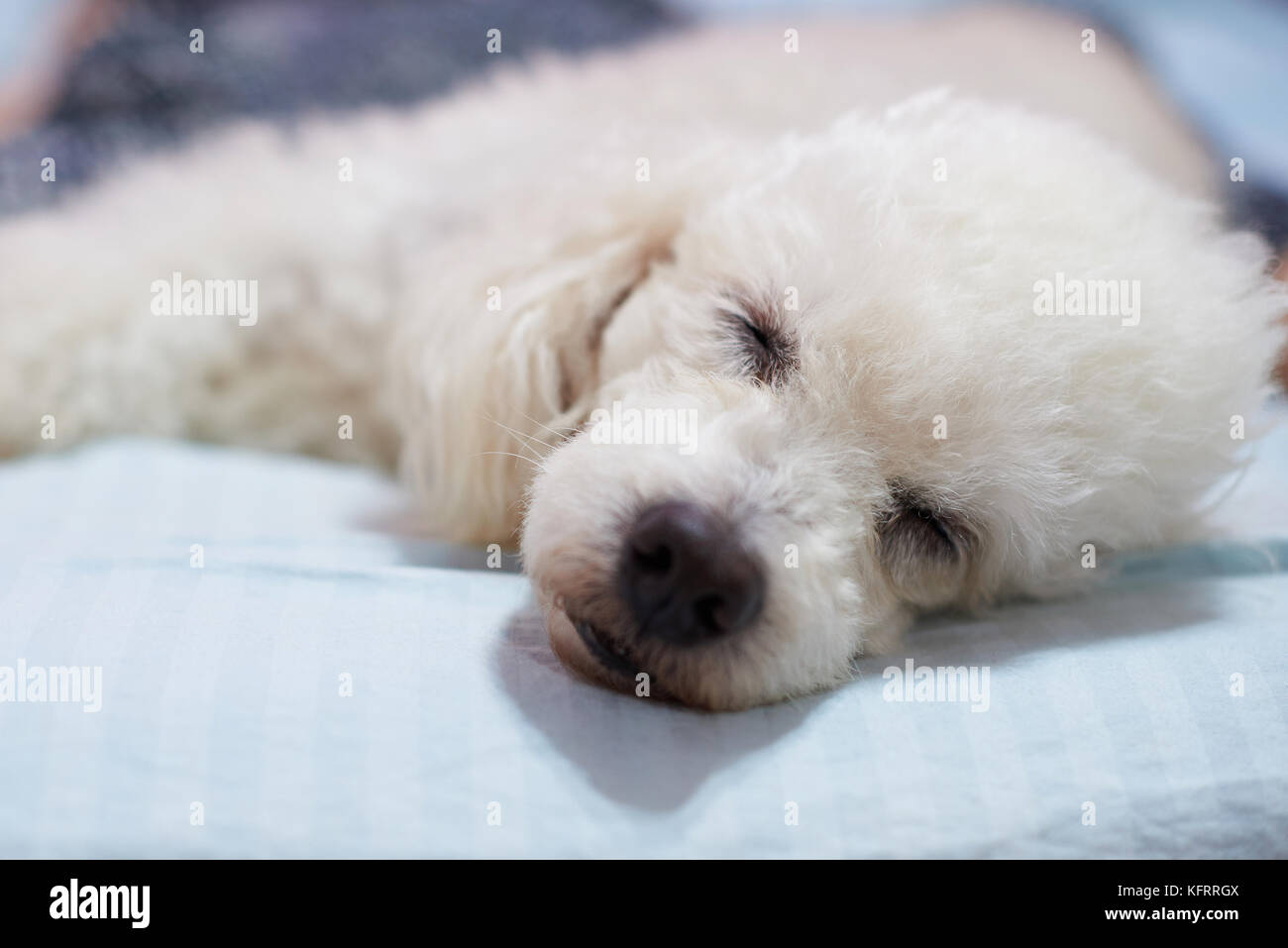 Close Up Toy Poodle Puppy Stock Photos Amp Close Up Toy