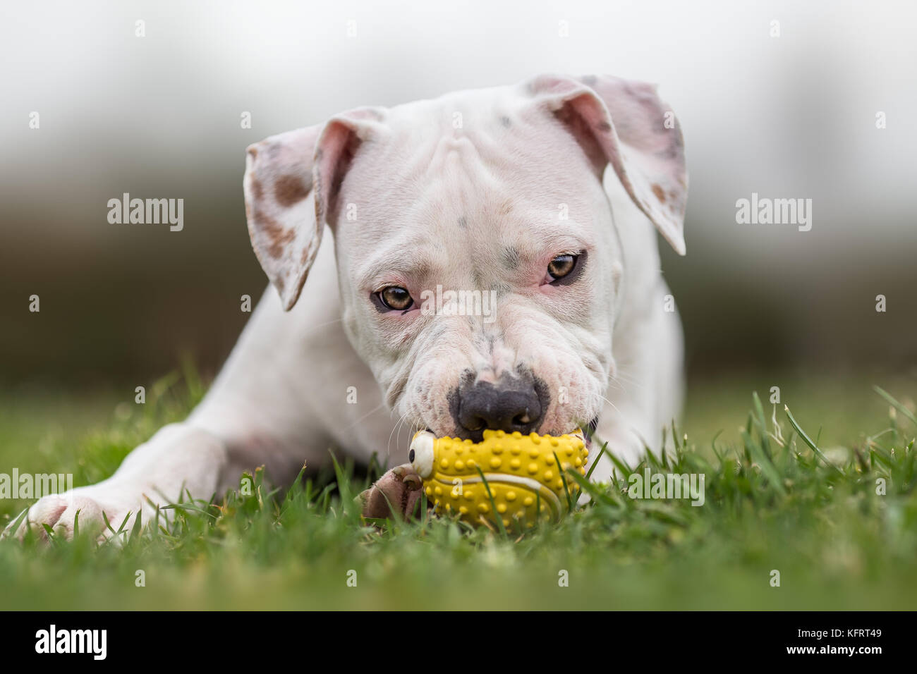 Completely white american staffordshire terrier - Stock Image