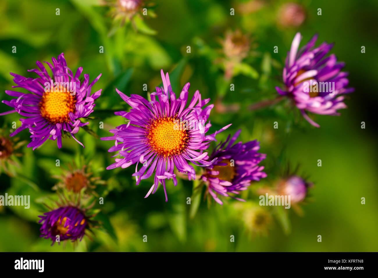 New England Aster (Symphyotrichum novae-angliae), Dodge Nature Center, Mendota Heights, Minnesota, USA - Stock Image
