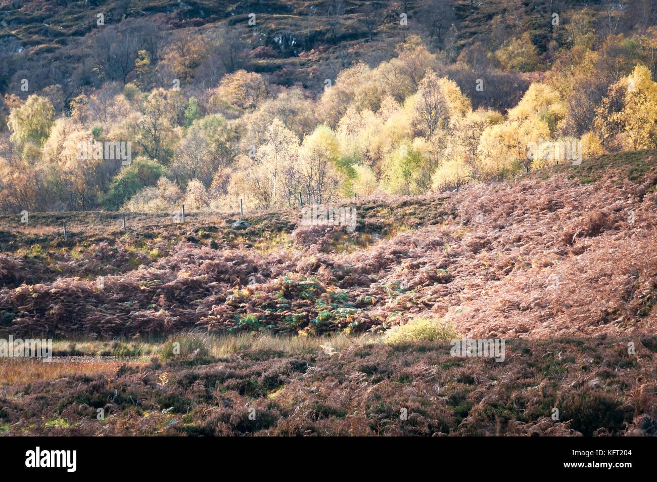 A landscape image of autumnal Silver Birch, Betula pendula, trees, Highlands, Scotland, UK, October 2017 - Stock Image