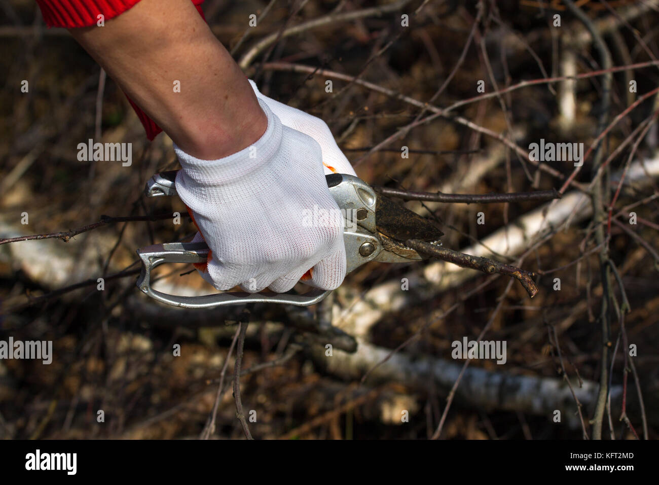 Gardener hands pruning cultivar garden branches with a garden secateurs in the autumn garden Stock Photo