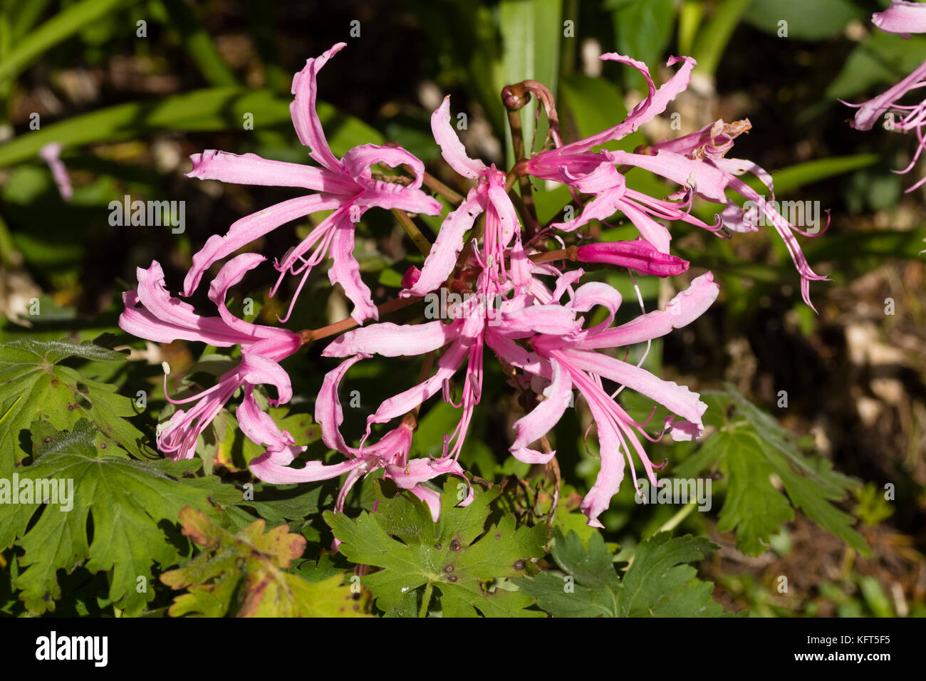 Narrow pnk petals of teh autumn flowering South African hardy bulb, Nerine bowdeni - Stock Image