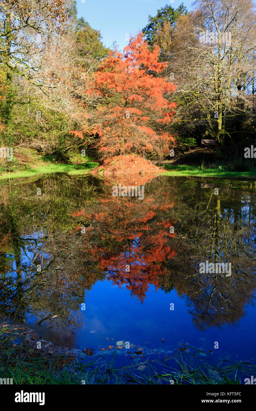 Swamp cypress, Taxodium distichum, and reflection in red autumn foliage by the side of a small lake - Stock Image