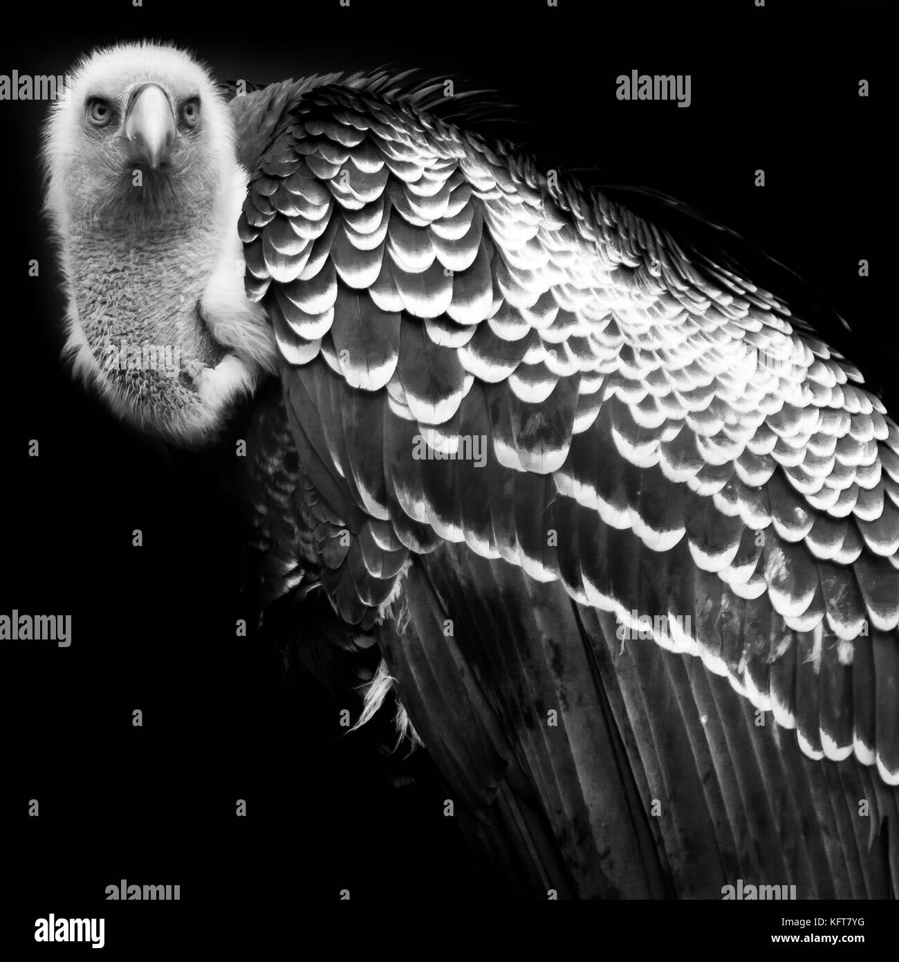 Portrait of a vulture in black and white stock image