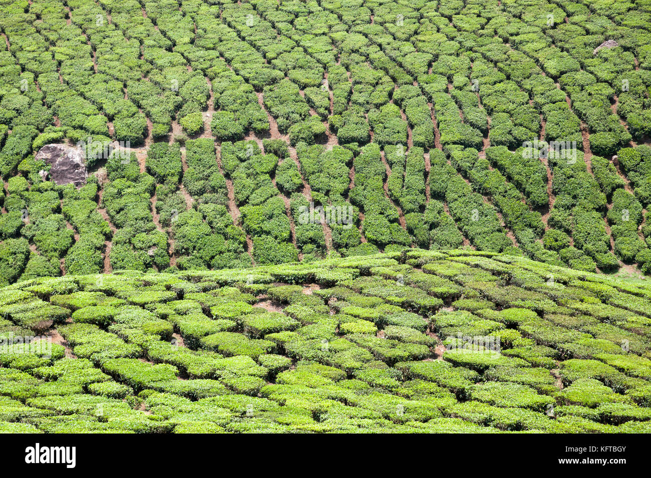 Tea plantation near Munnar in the Idukki district of the southwestern Indian state of Kerala - Stock Image