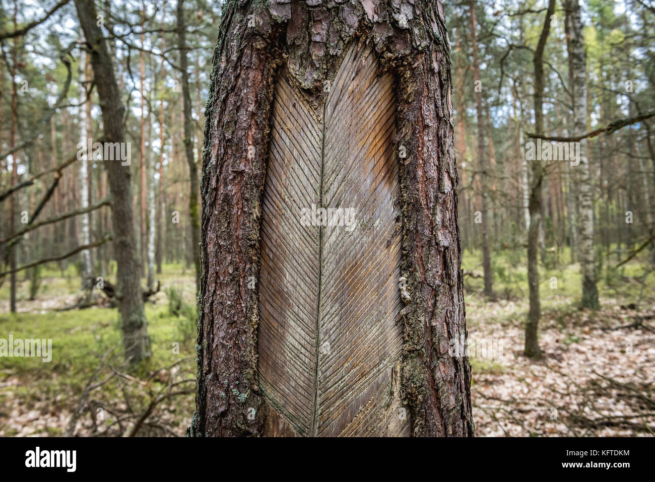 Cutted pine tree for resin extraction in Kampinos Forest (Polish: Puszcza Kampinoska) - large forest complex located Stock Photo