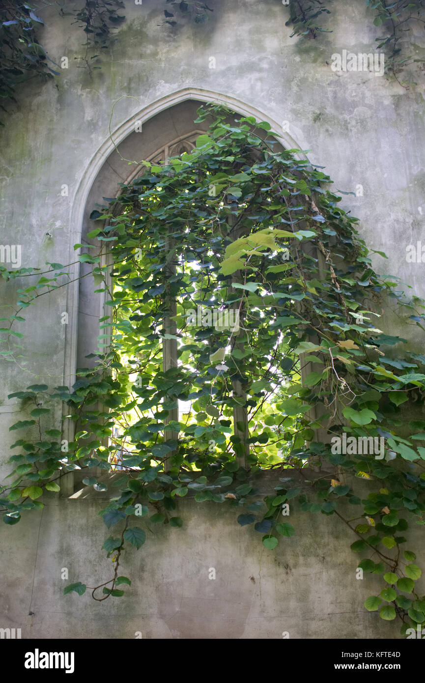 ancient church window overgrown with vines - Stock Image