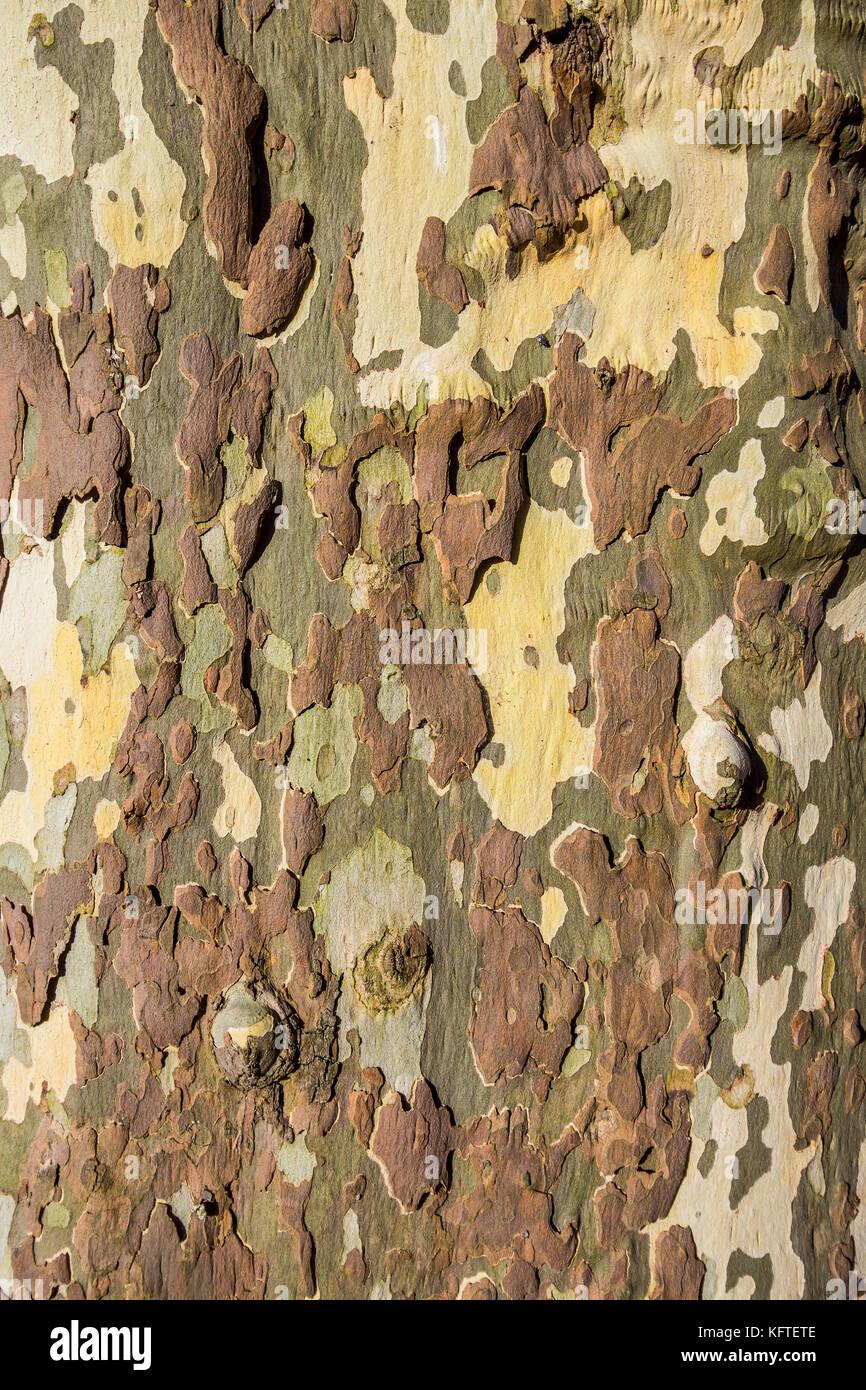 Peeling bark on Plane tree, Platanus - France. - Stock Image