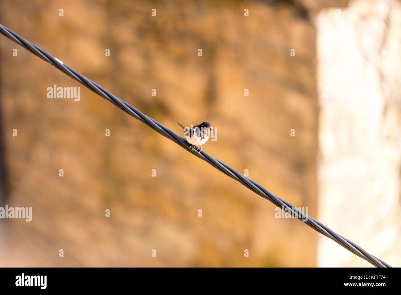 Swallow, Hirundo rustica, Swallows and martins (Hirundinidae) in a wire in Medieval village of Beynac et Cazenac, - Stock Image