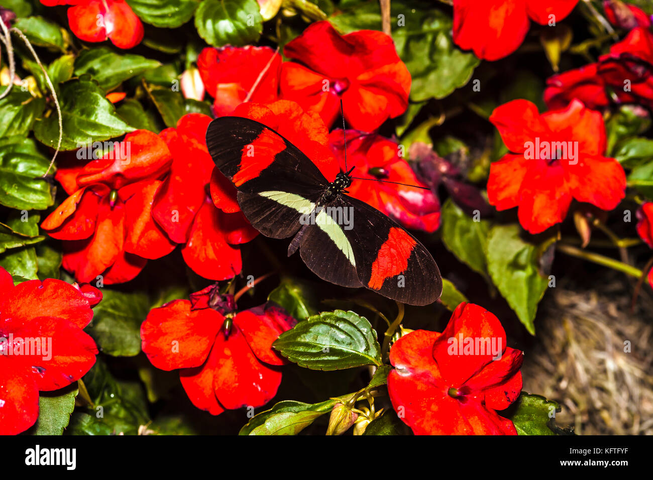 postman butterfly on colorful flowers Stock Photo: 164652531 - Alamy