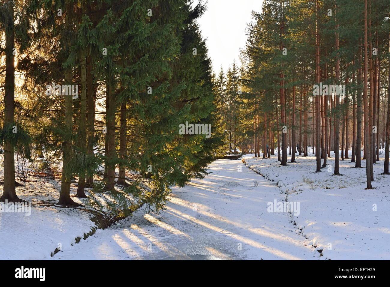 The sun shines through the pine grove on the shore of the pond in the winter. Pushkin, Tsarskoye Selo, Saint Petersburg - Stock Image