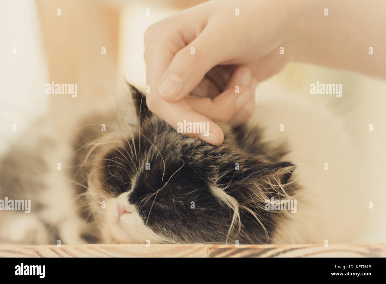 woman hand petting a kitty cat head, love to animals, soft focus and film style. - Stock Image