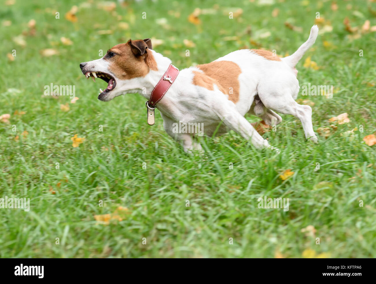 Angry barking dog running on grass - Stock Image