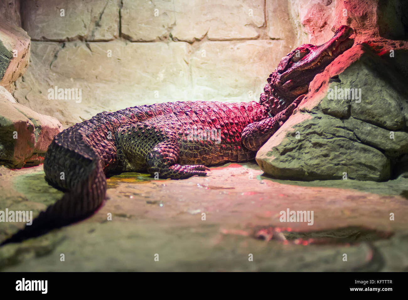 Spectacled caiman, Caiman crocodilus, single animal head shot under an infrared lamp , Brazil Stock Photo