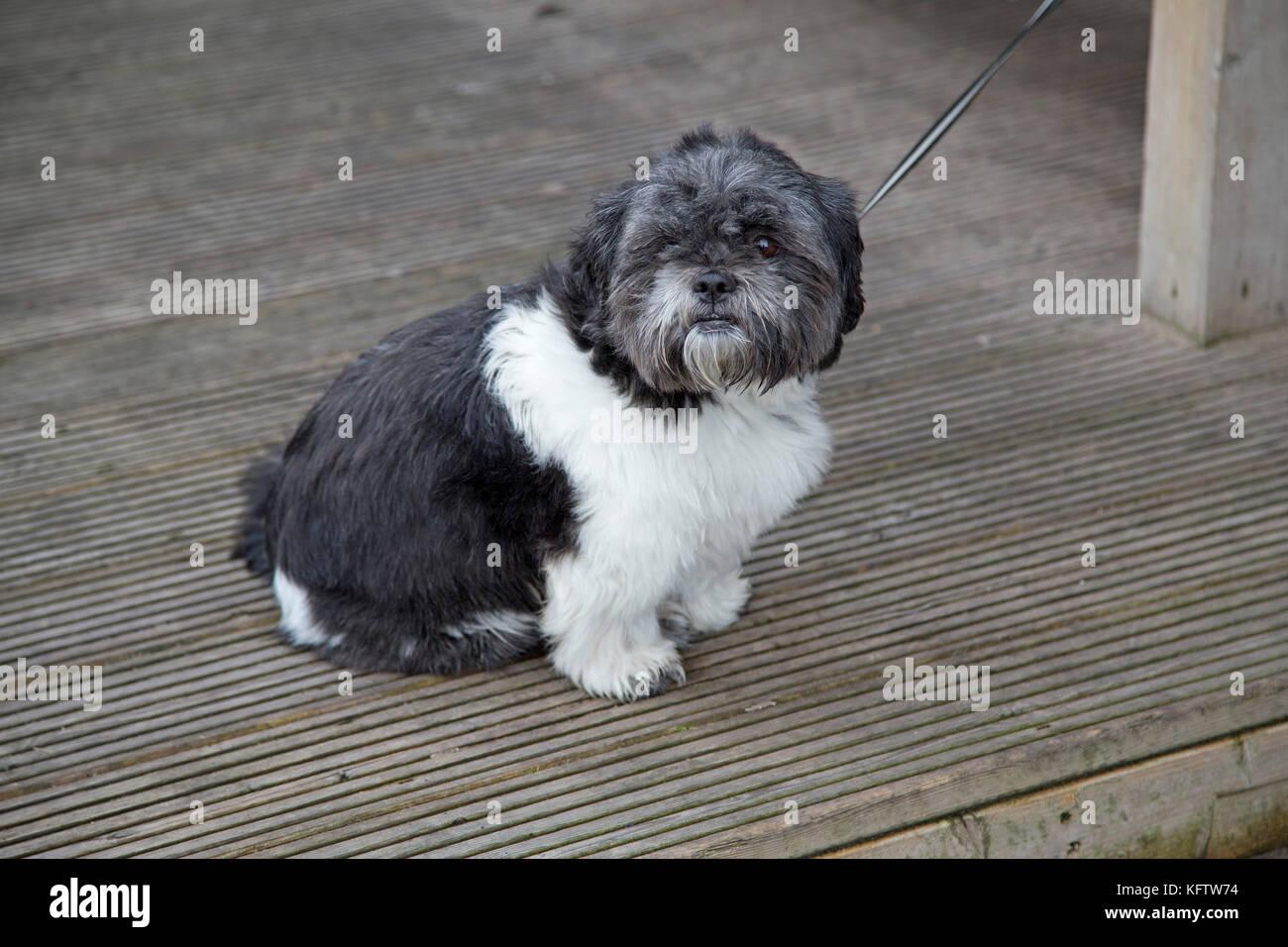 little dog, Portrush, Co. Antrim, Northern Ireland - Stock Image