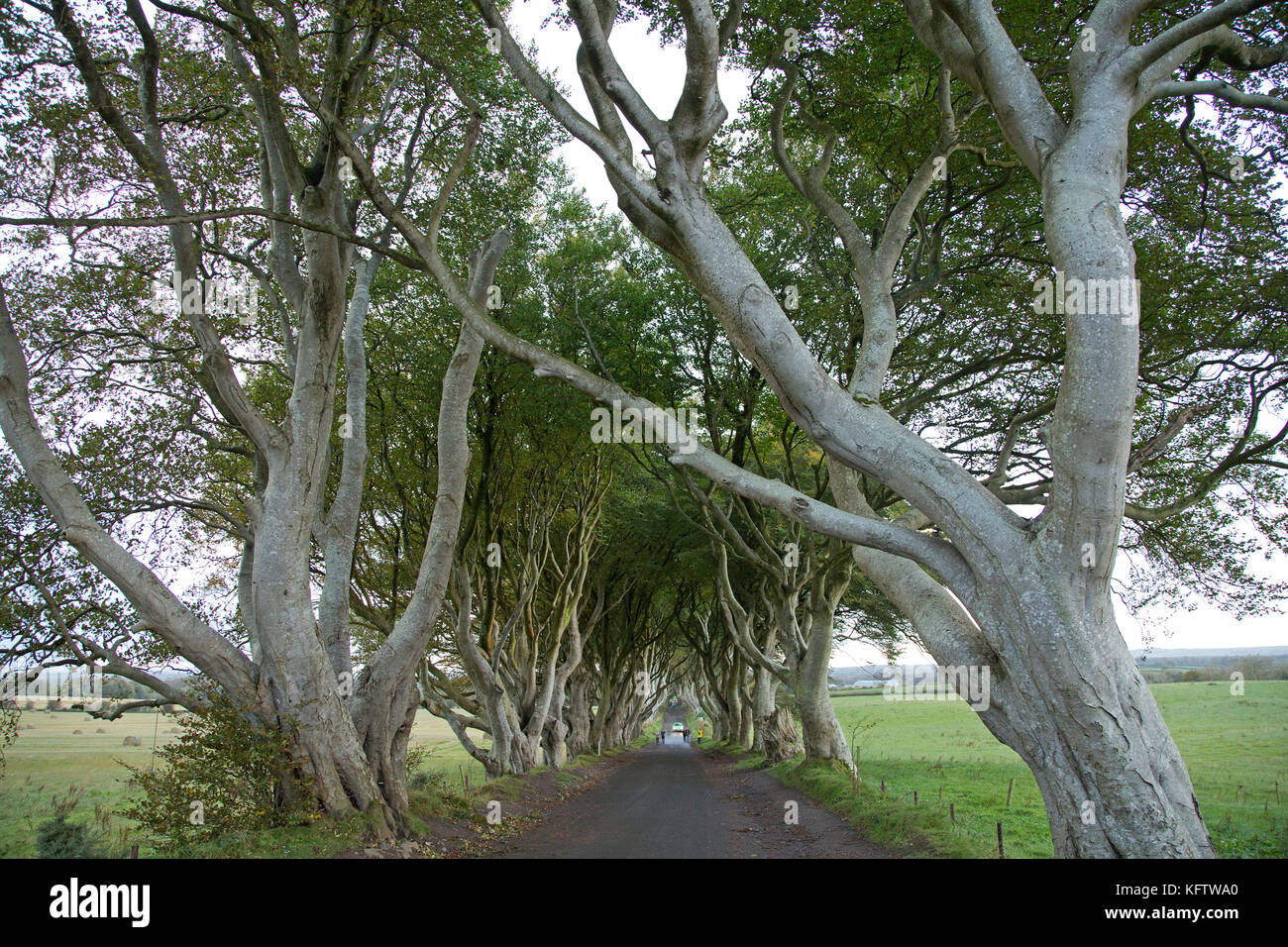Dark Hedges, Stranocum, Ballymoney, Co. Antrim, Northern Ireland - Stock Image