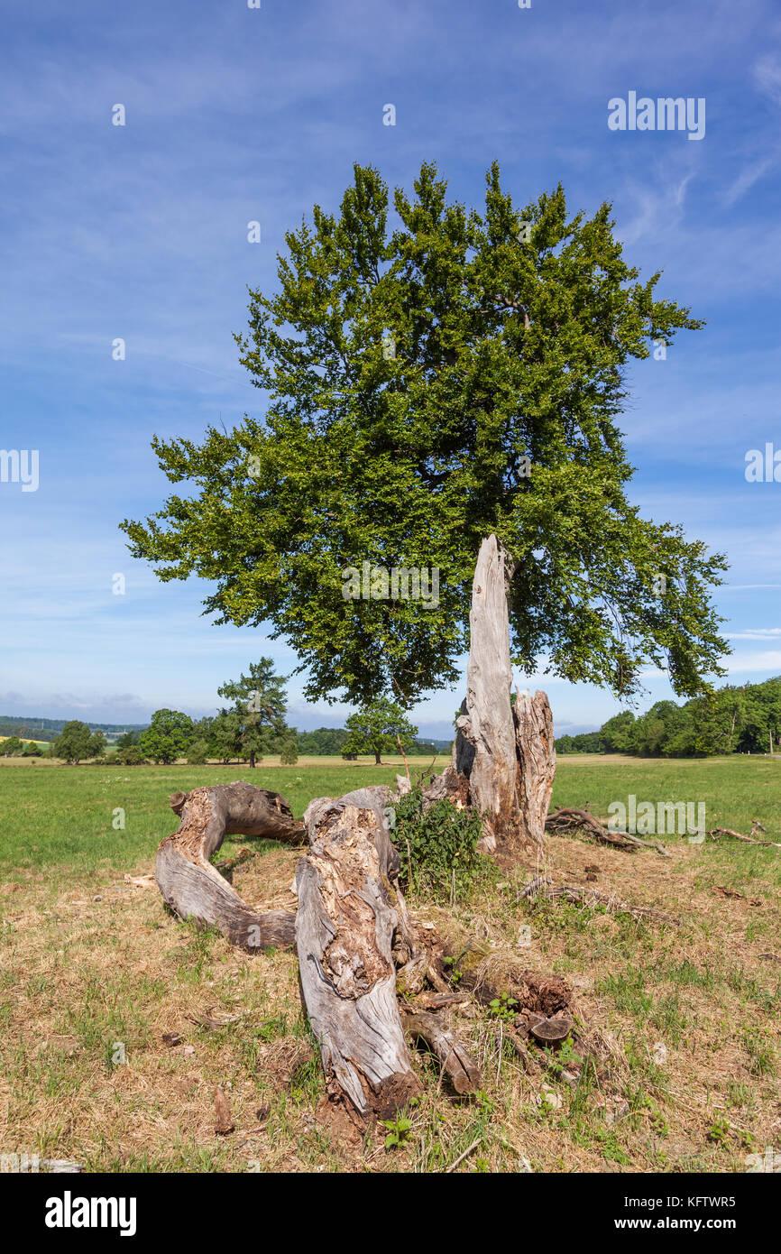 einzelner Baum in Wiesenlandschaft - Stock Image