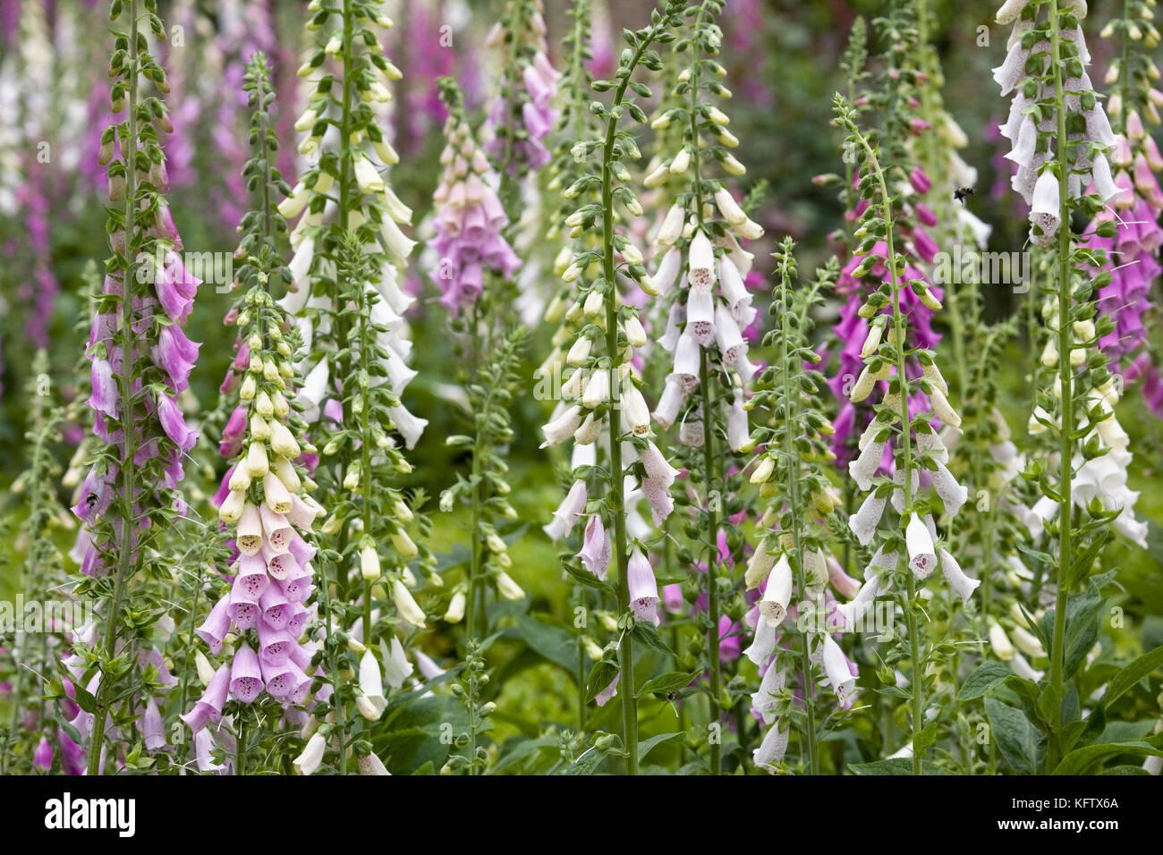 Digitalis purpurea. Foxgloves in the garden. - Stock Image