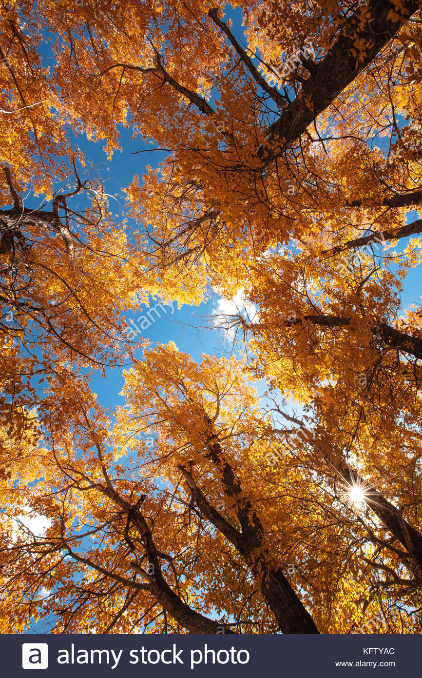 Sunstar shines  through narrowleaf cottonwood canopy in autumn at Rocky Mountain National Park, Colorado - Stock Image