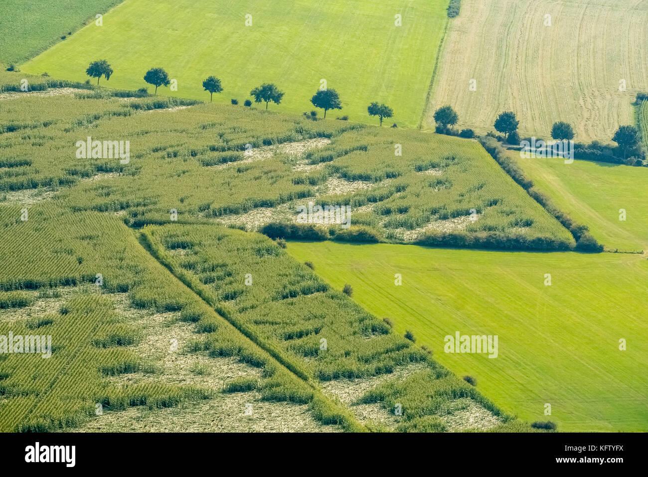 Flood area Niederrhein at Schenkenschanz, vice wehtes cereals, crop damage in a field, Kleve, Niederrhein, North - Stock Image