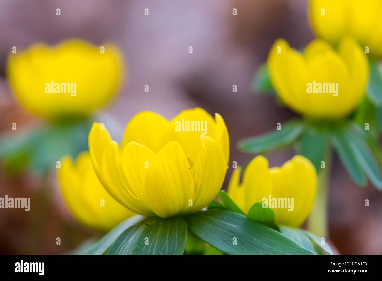 Frühblüher Winterlinge Stock Photo