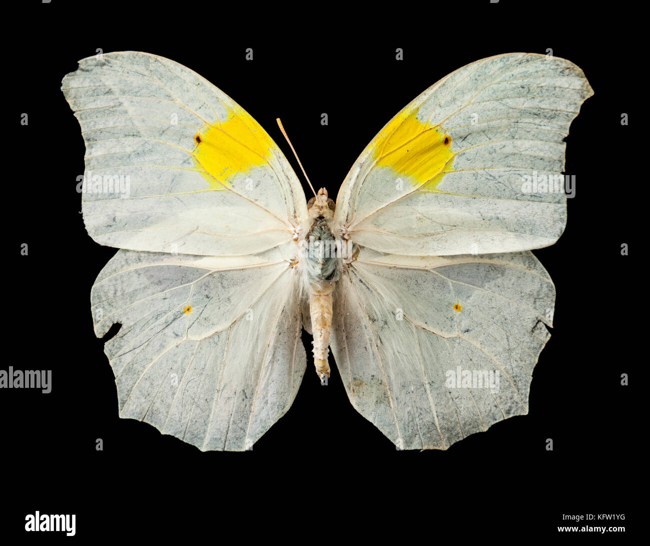 Anteos clorinde (White Angled-Sulphur) tropical butterfly from the Sapucay region of Paraguay, South America - Stock Image