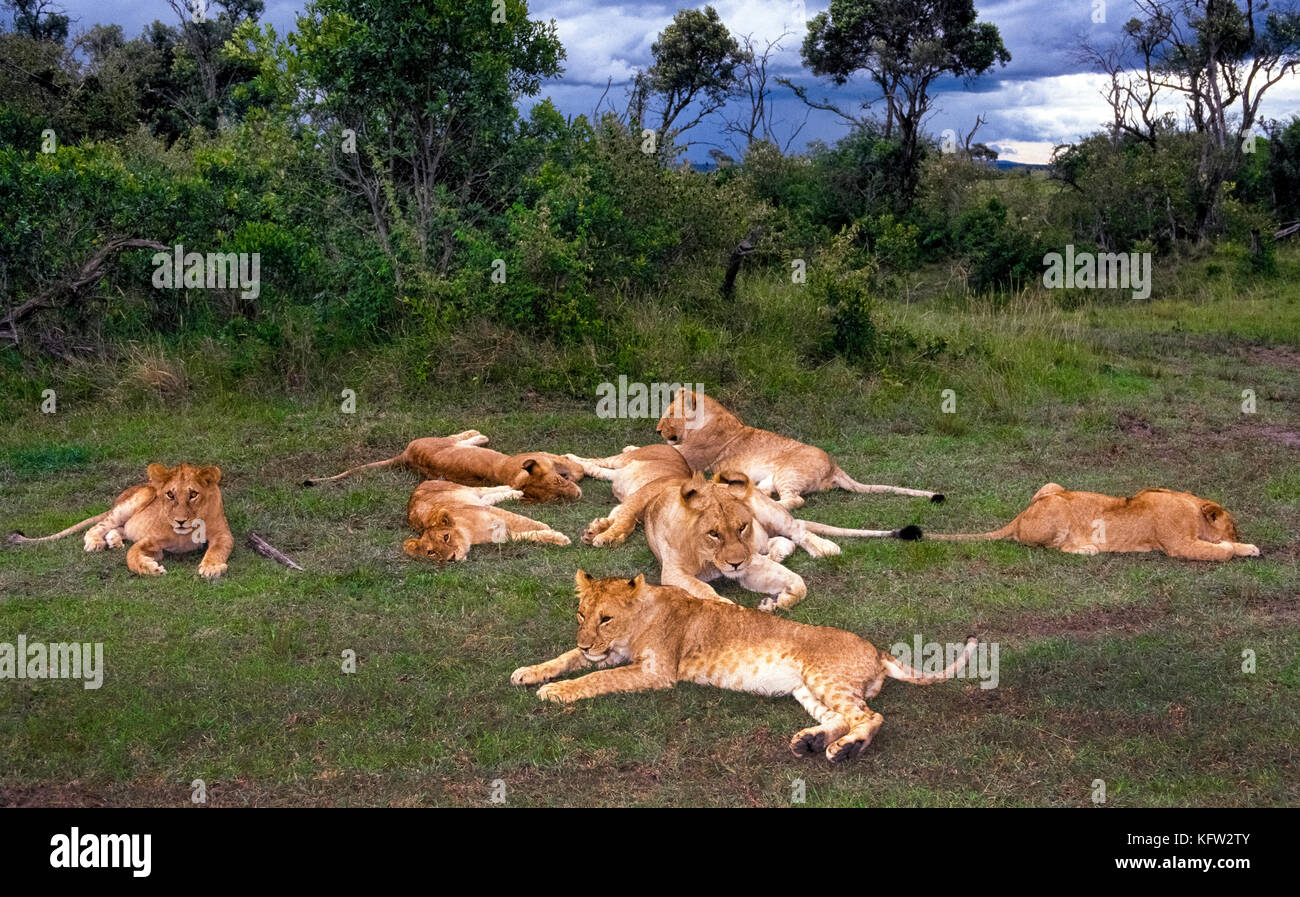 A pride of eight African lions (Panthera leo) rest together in the Masai Mara National Reserve, one of the best - Stock Image