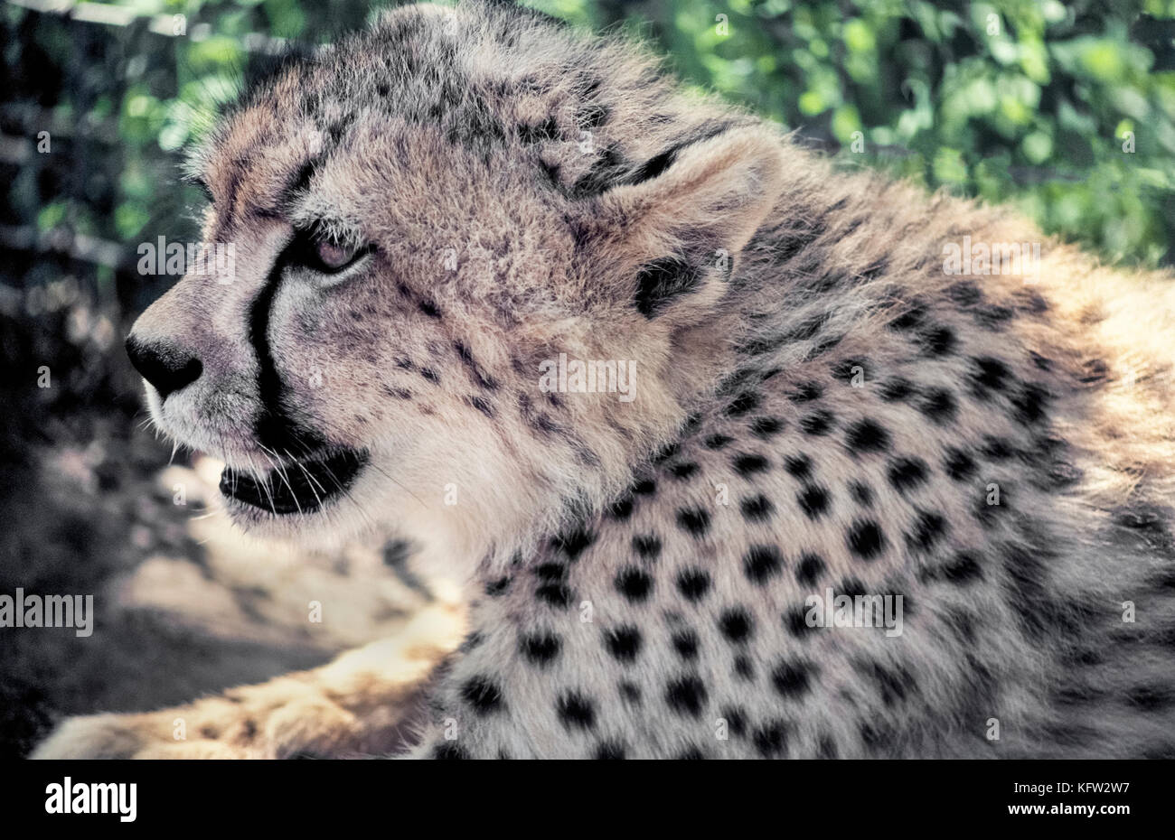 A close-up profile of the face of a young cheetah (Acinonyx jubatus) shows the animal's most characteristic marking, a black tear-like streak running down from each eye to the mouth. The stripes are thought to protect the eyes from the sun's glare. Another distinguishing feature are the solid black spots on a cheetah's coat that help camouflage the world's fastest land animal and Africa's most endangered big cat. Photographed in Zululand, South Africa. Stock Photo