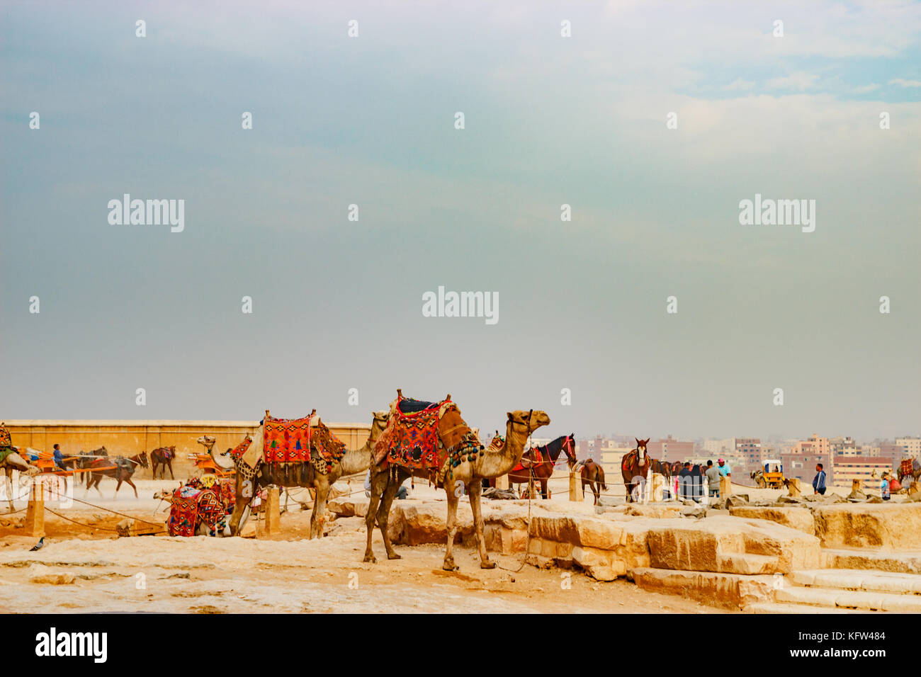 Camel near the ancient pyramid in Cairo, Egypt - Stock Image