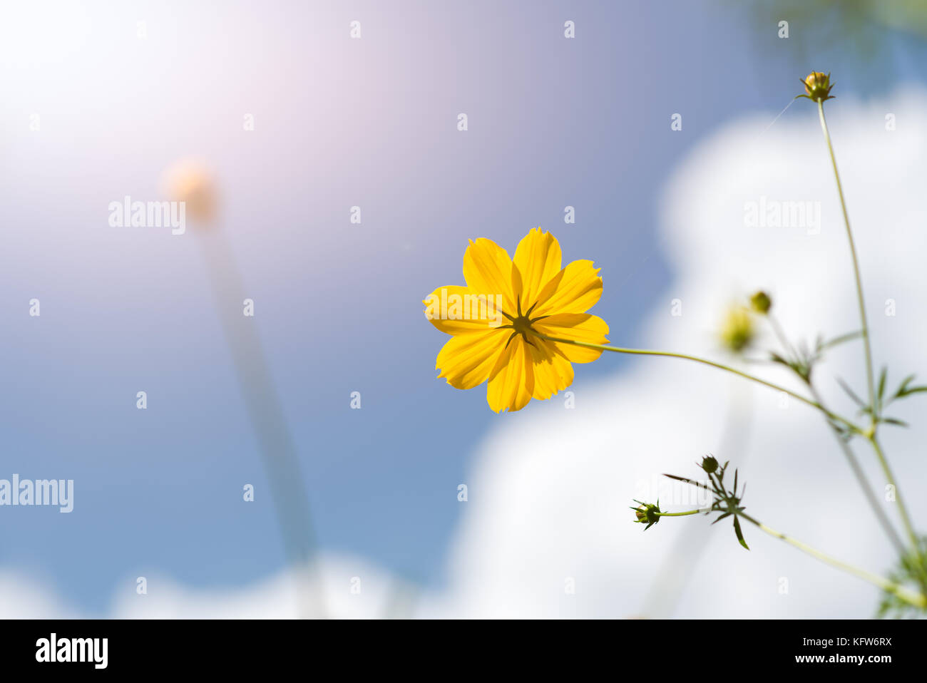 Beautiful yellow Cosmos on white clound and blue sky, - Stock Image