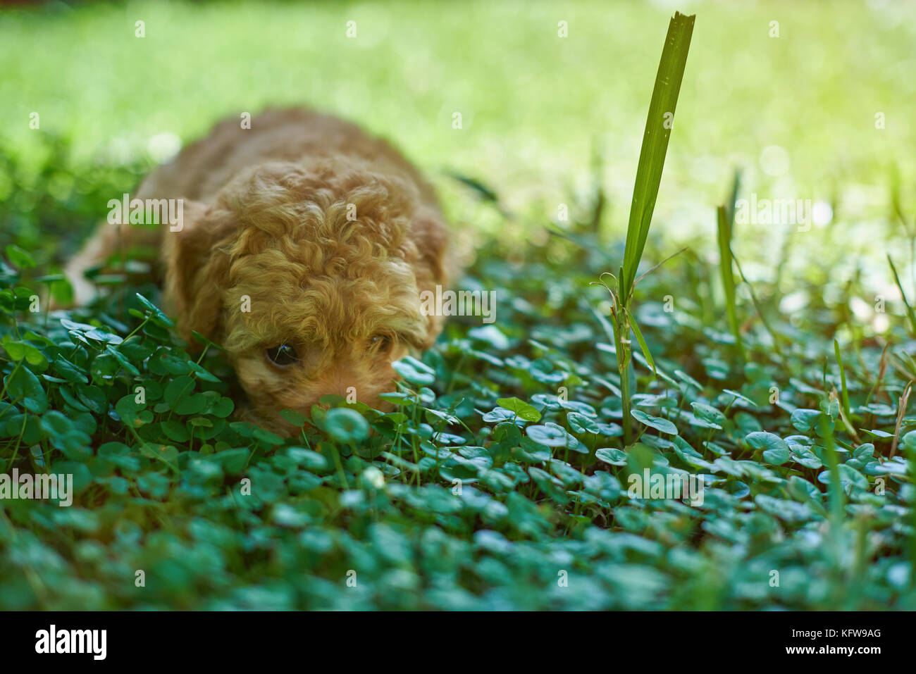 Little puppy hiding in grass. Poodle puppy laying on grass Stock Photo