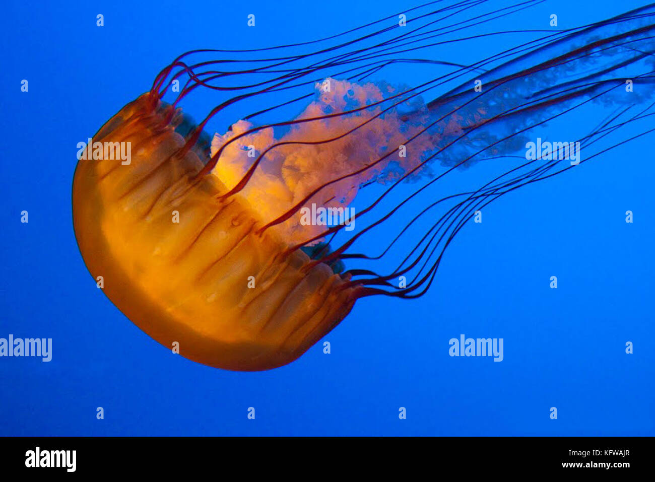Jellyfish on a blue background. - Stock Image