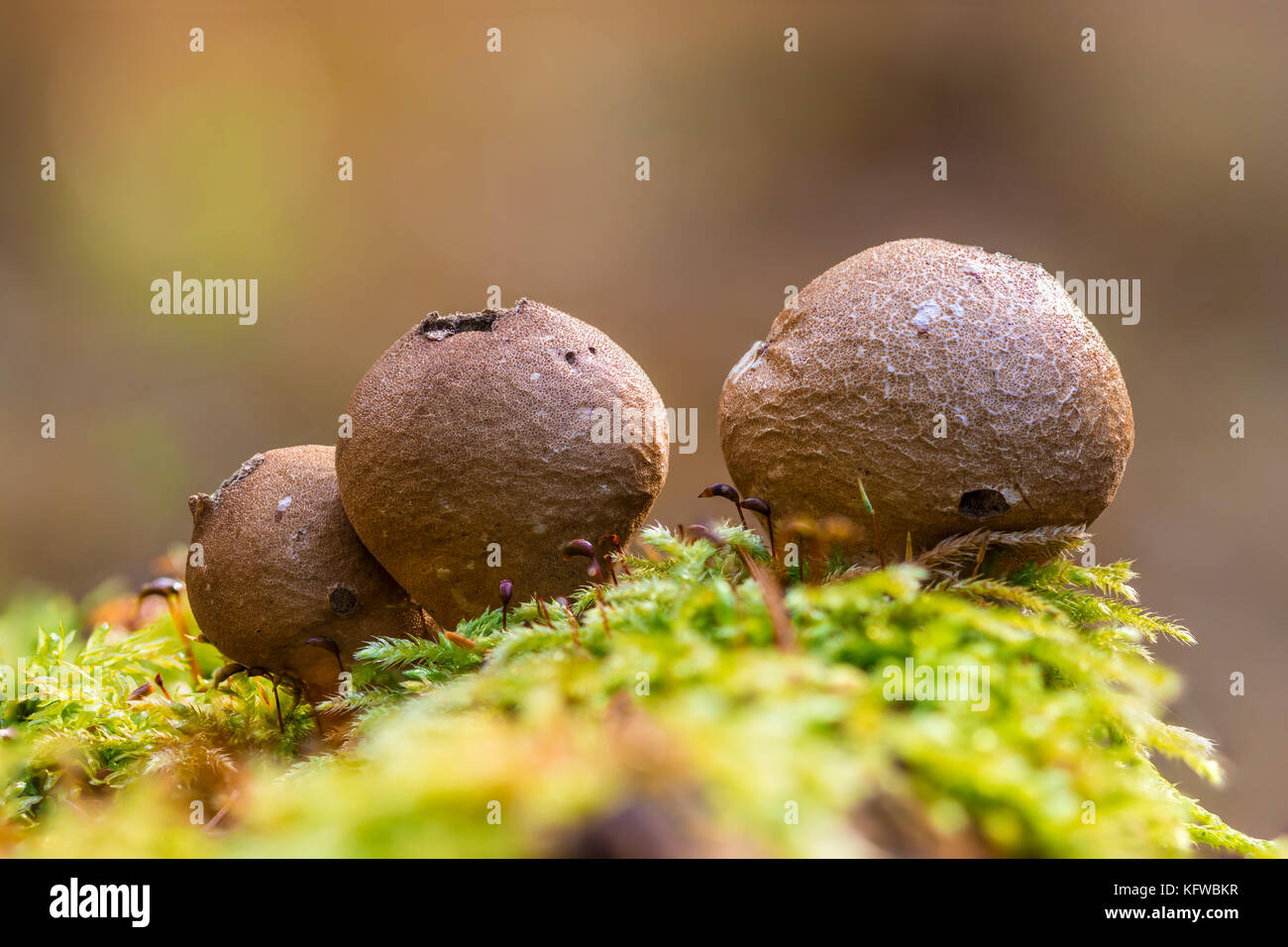 Close-up macro photo of Pear-shaped puffball (Lycoperdon pyriforme) mushrooms on a mossy stump in the autumn forest. - Stock Image