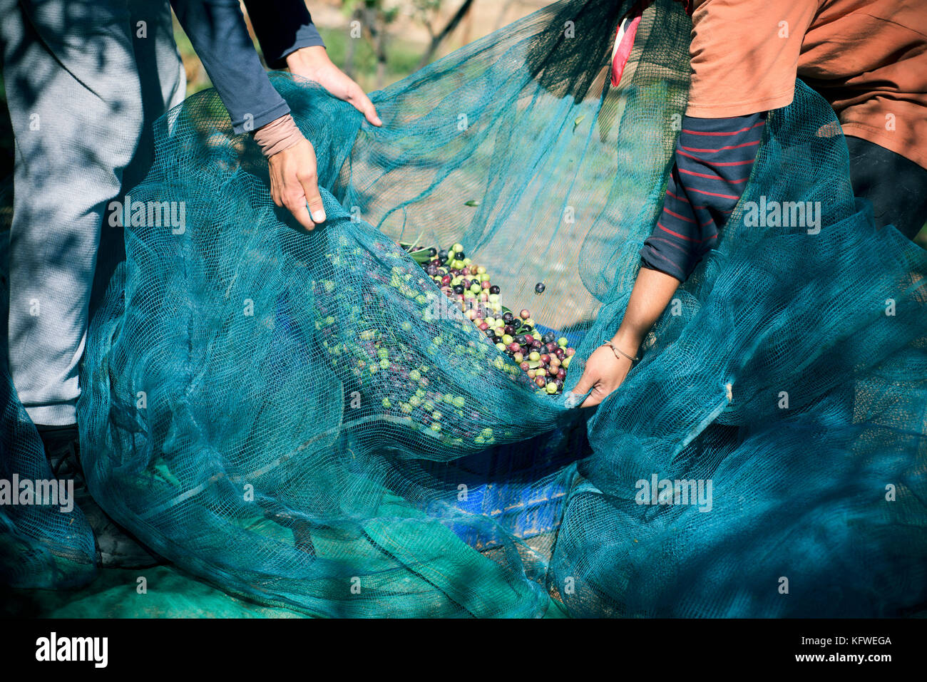 closeup of a young caucasian man and a young caucasian woman carrying a net full of arbequina olives during the Stock Photo