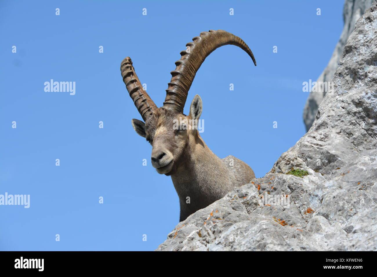 Bouquetin mâle guignant derrière un rocher dans son beau paysage montagnard au ciel bleu - Stock Image