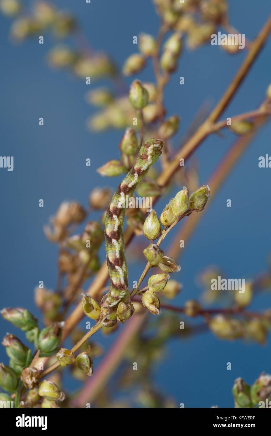 Feldbeifuß-Blütenspanner, Feldbeifuss-Blütenspanner, Blütenspanner, Raupe frisst an Feldbeifuß, Eupithecia innotata, Stock Photo