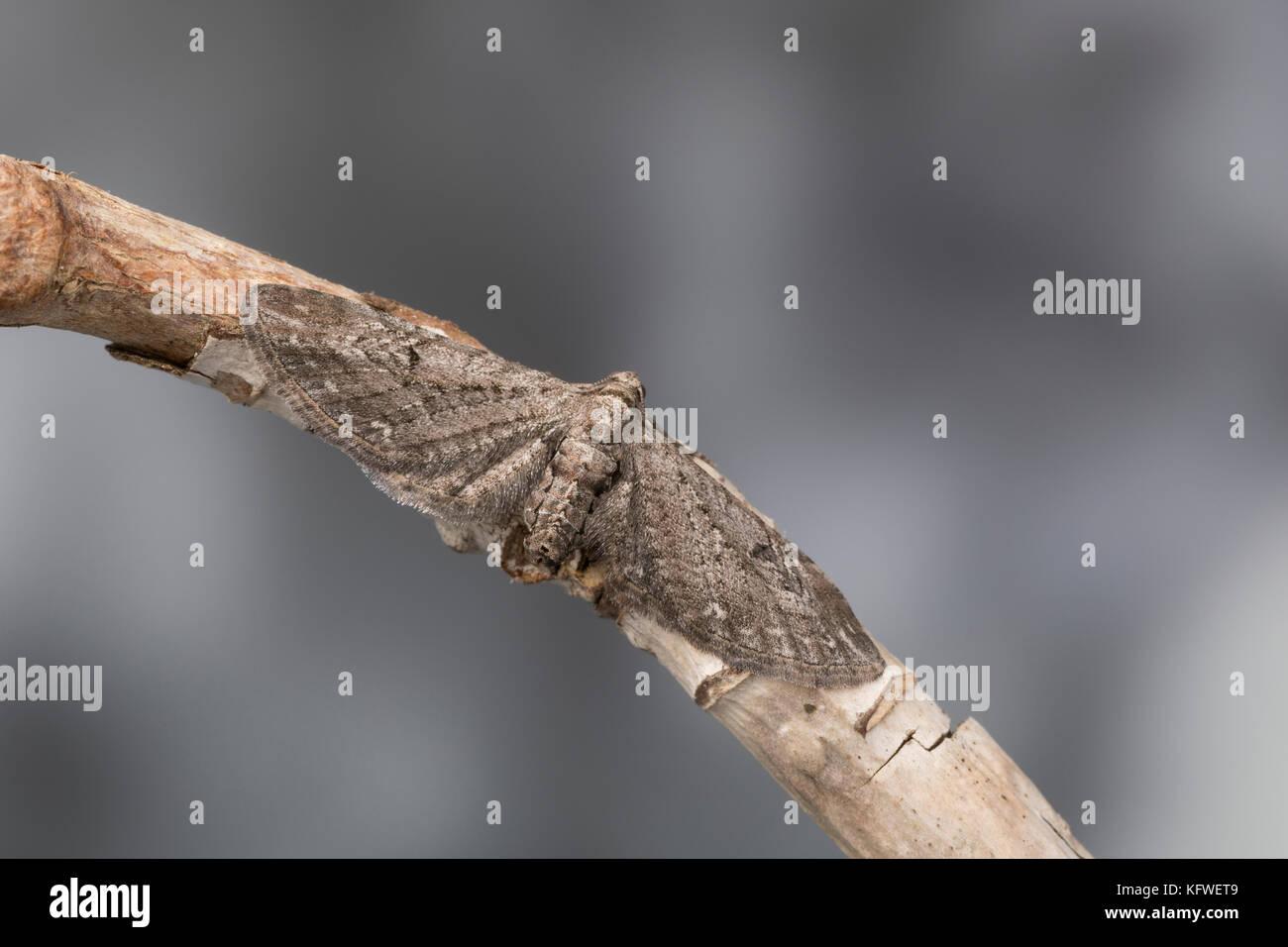 Feldbeifuß-Blütenspanner, Feldbeifuss-Blütenspanner, Blütenspanner, Eupithecia innotata, angle-barred pug, Spanner, Stock Photo