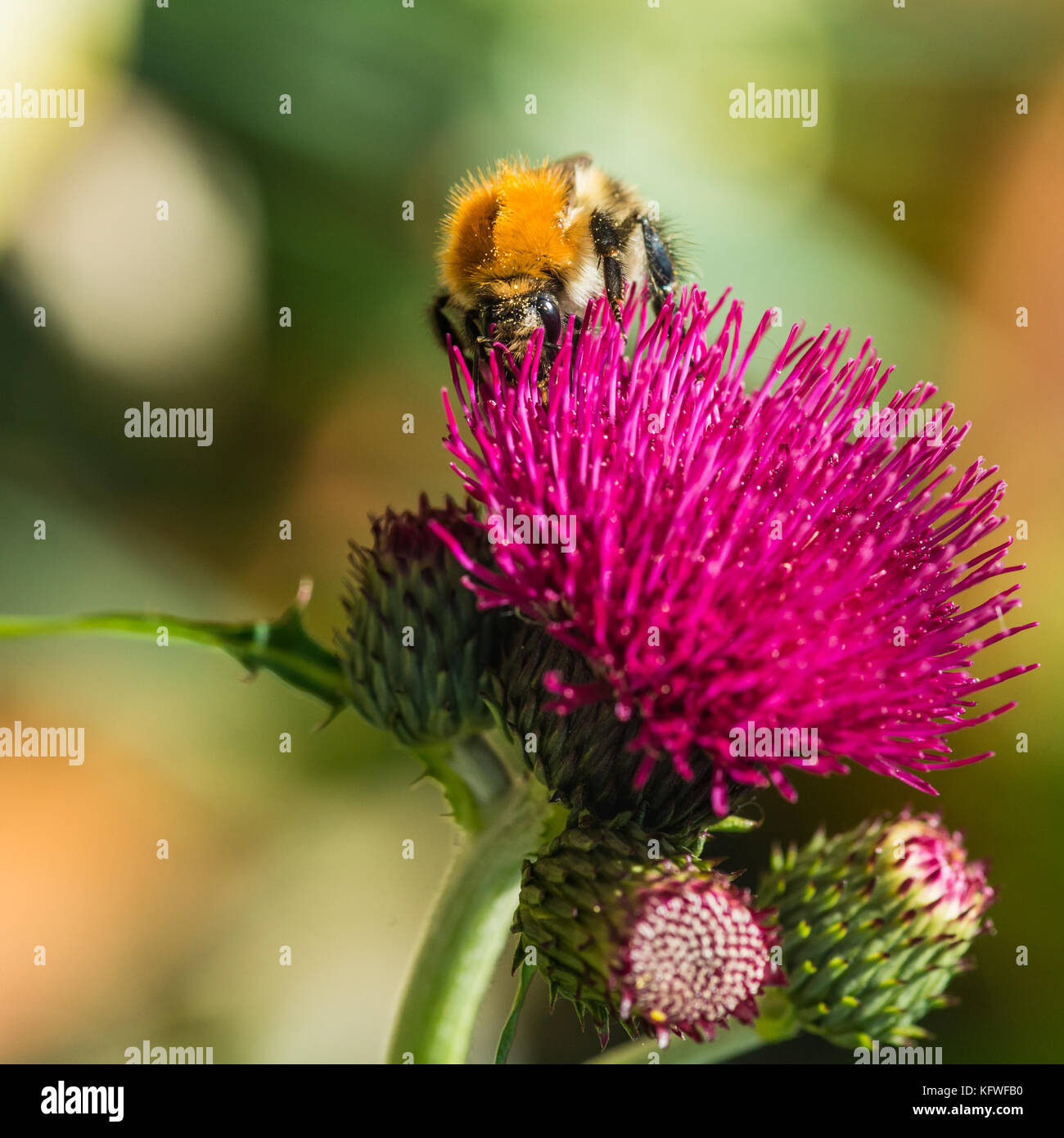 A macro shot of a common carder bee collecting pollen from a cirsium bloom. - Stock Image