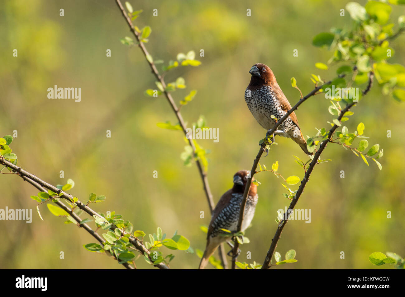 Pair of Spotted Munia Sitting on Branch - Stock Image