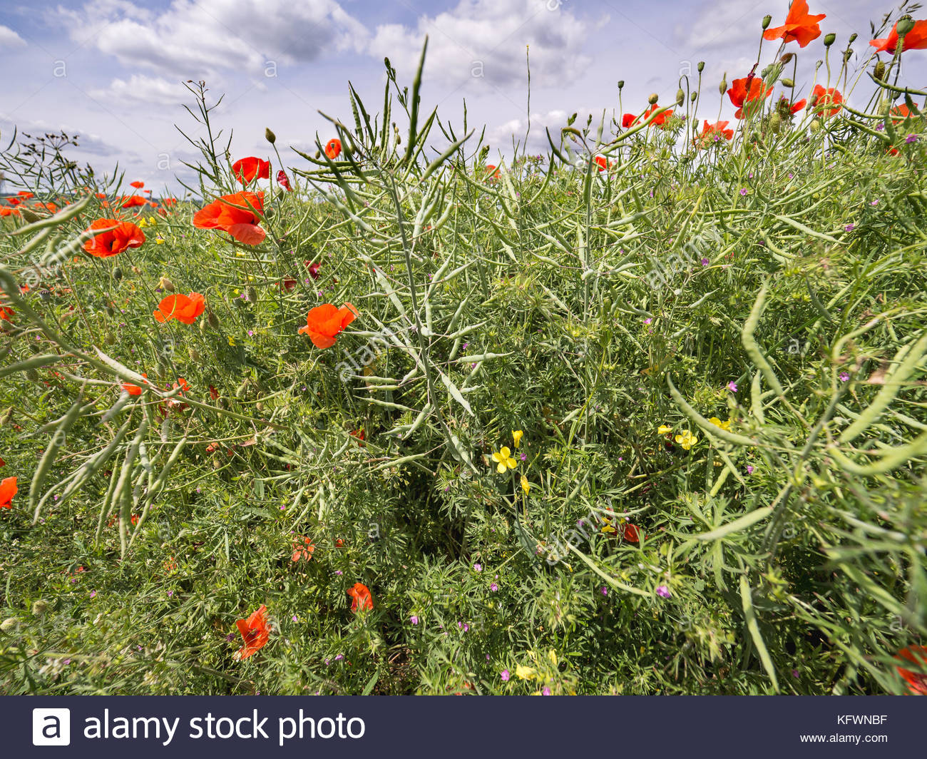 White fluffy flowers stock photos white fluffy flowers stock poppies and wild flowers with blue sky and white fluffy clounds stock image mightylinksfo