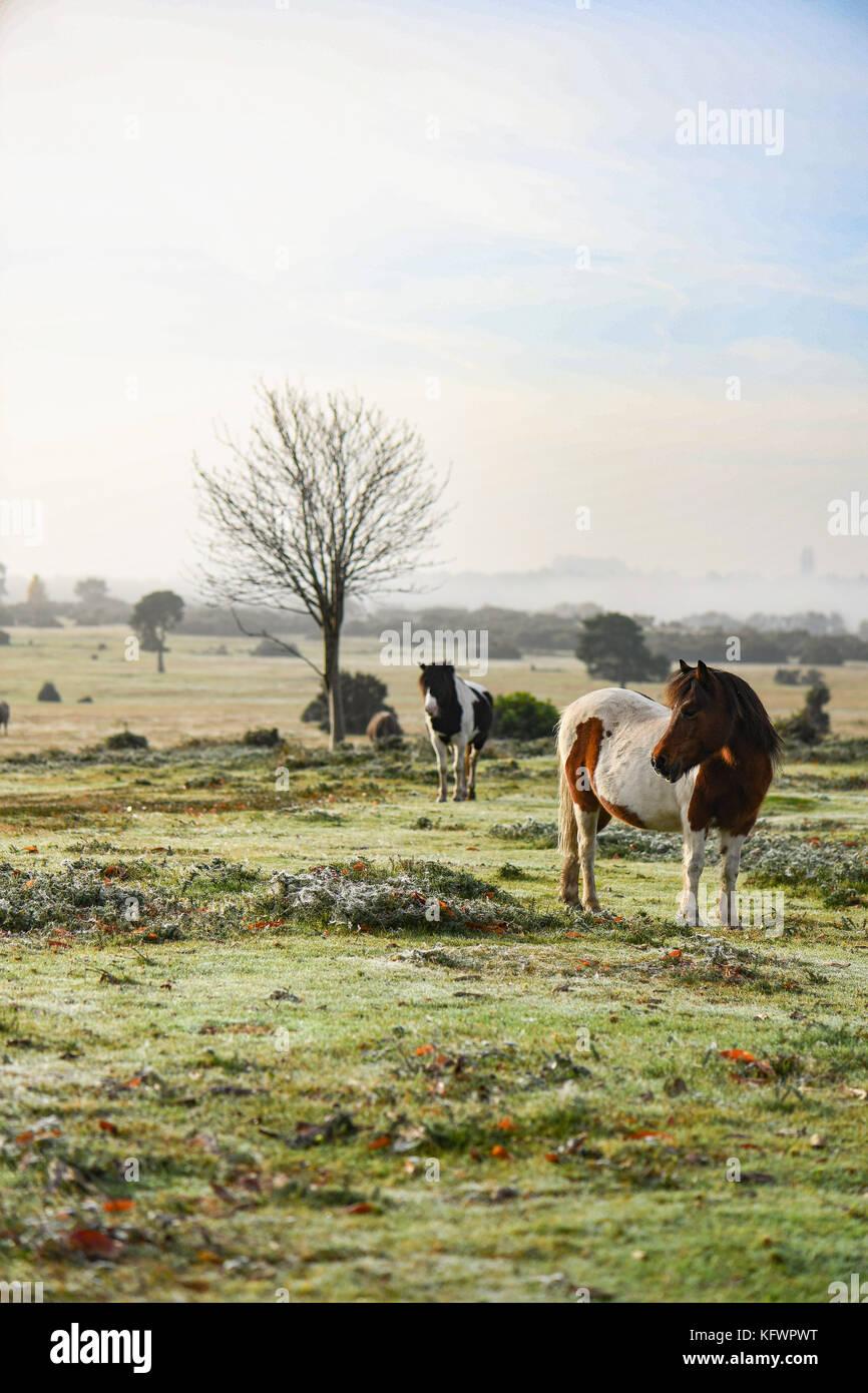 New Forest, Hampshire, UK. 1st Nov, 2017. UK Weather. New Forest ponies sunbathe warming up enjoying the rising Stock Photo