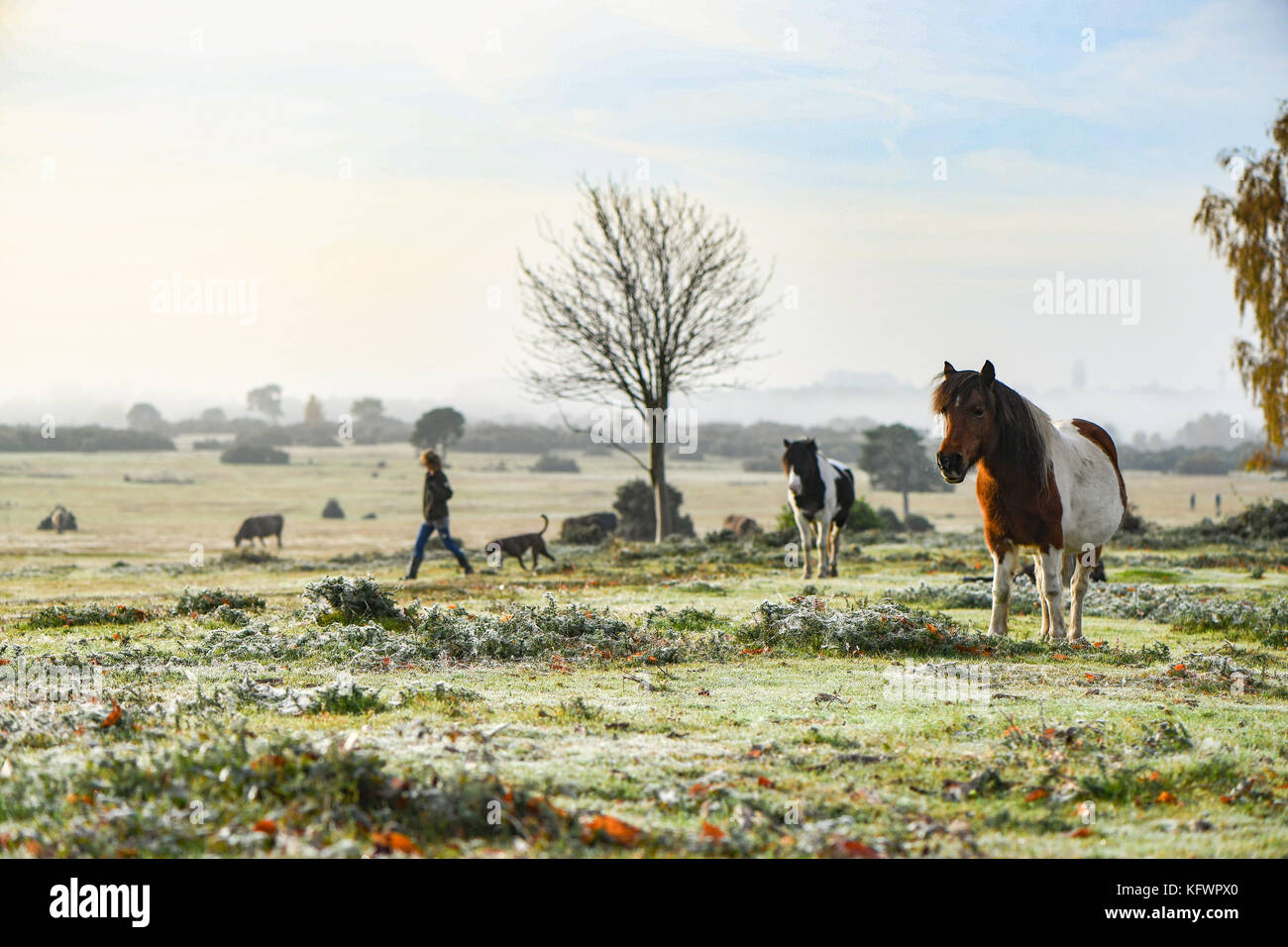 New Forest, Hampshire, UK. 1st Nov, 2017. UK Weather. New Forest ponies sunbathe warming up enjoying the rising Stock Photo