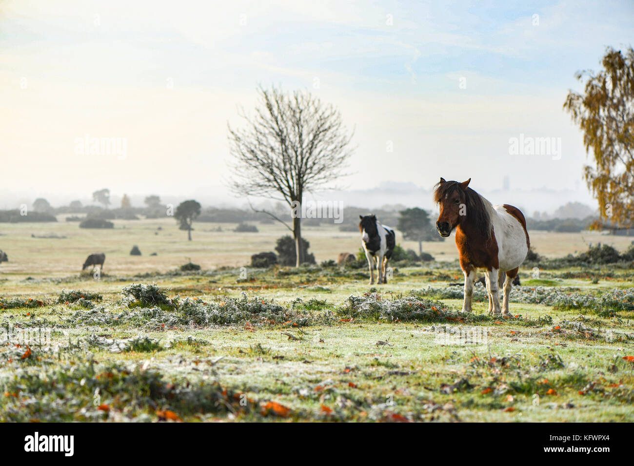 New Forest, Hampshire, UK. 1st Nov, 2017. UK Weather. New Forest ponies sunbathe warming up enjoying the rising - Stock Image