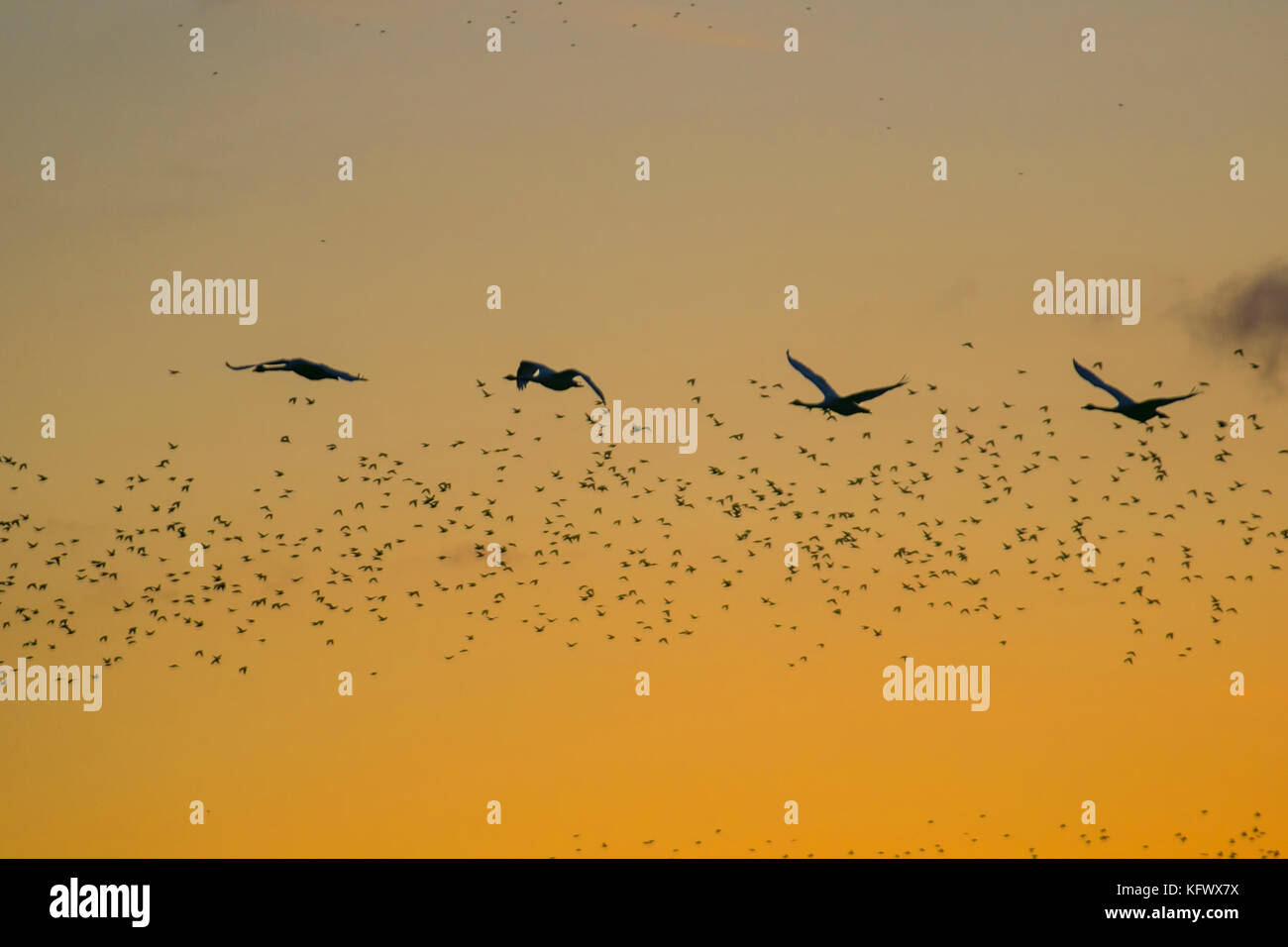 Birds in Flight, flying in the clouds at Burscough, Merseyside, UK Weather November, 2017. Starling mumuration over - Stock Image