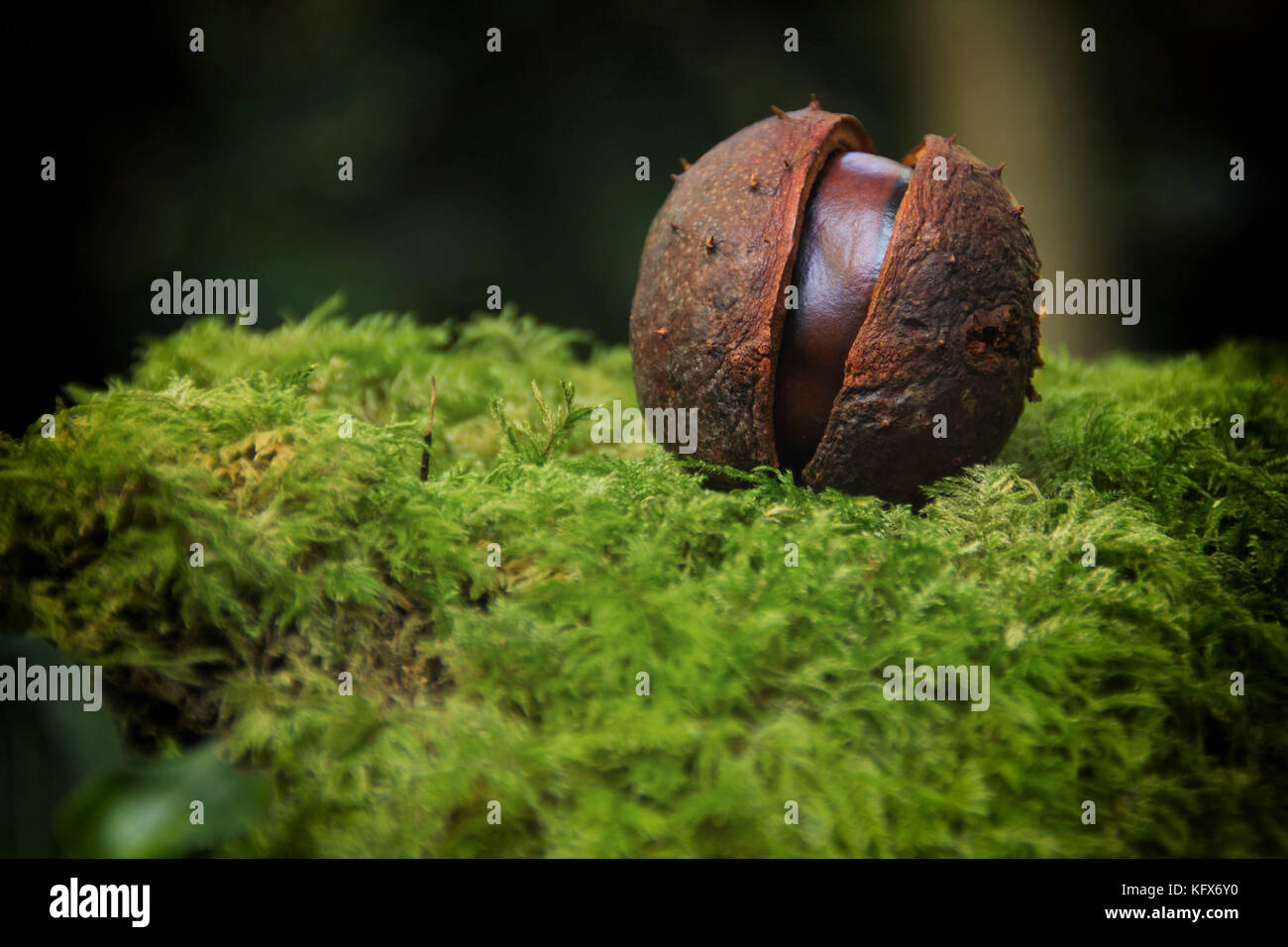 A fallen ripe Chestnut sitting on a mossy bank. - Stock Image