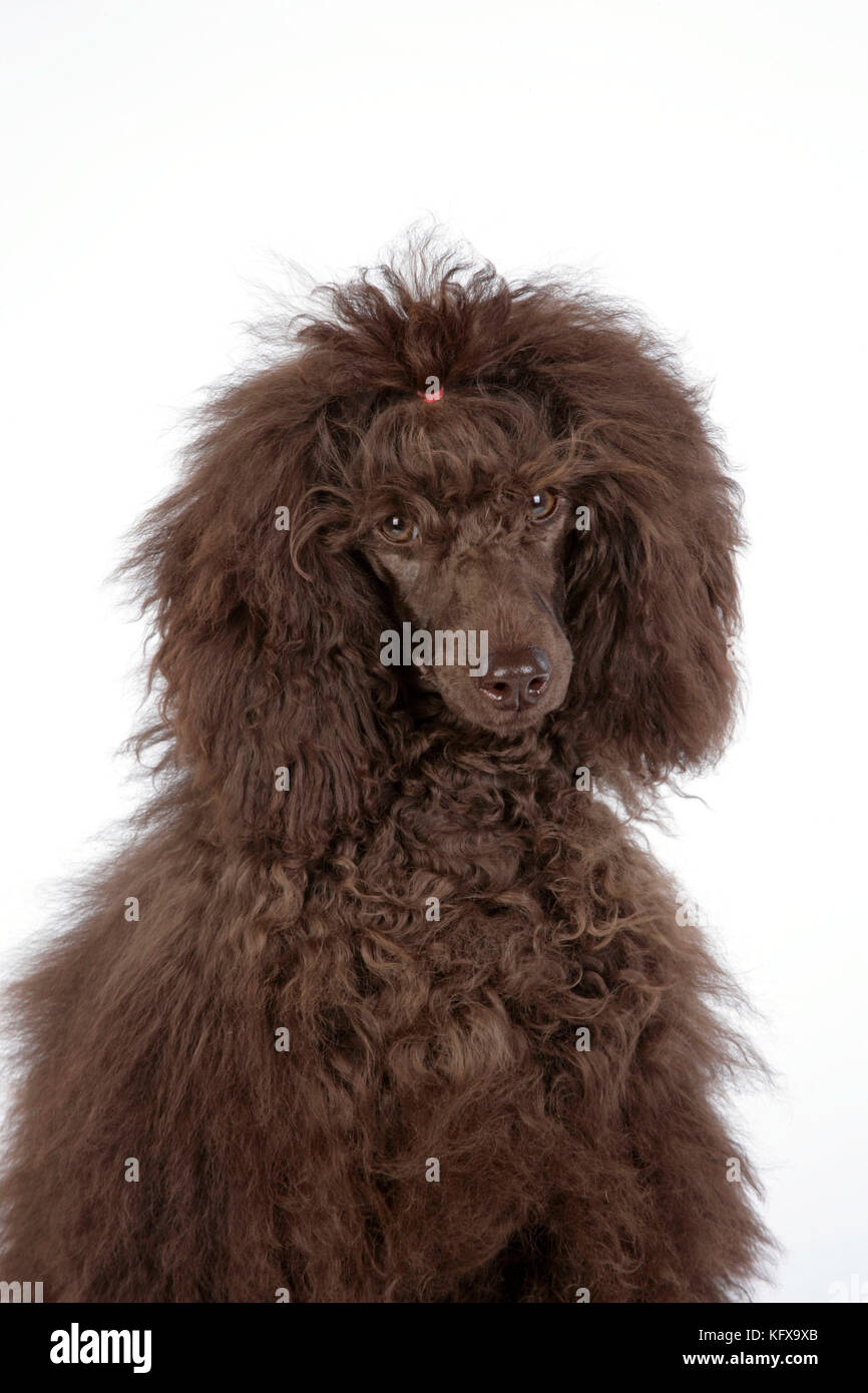 Brown Poodle Stock Photos & Brown Poodle Stock Images - Alamy  Brown Poodle St...