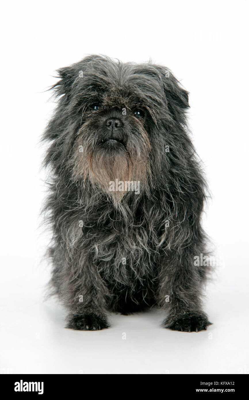 DOG. Affenpinscher Stock Photo: 164691774 Alamy