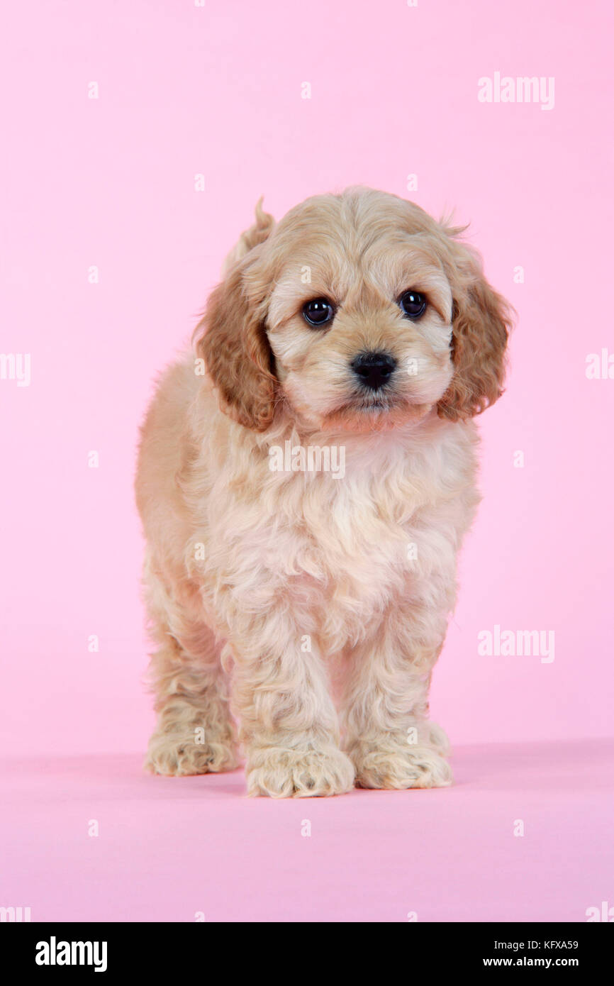 Dog. Cockerpoo puppy (7 weeks old) - Stock Image