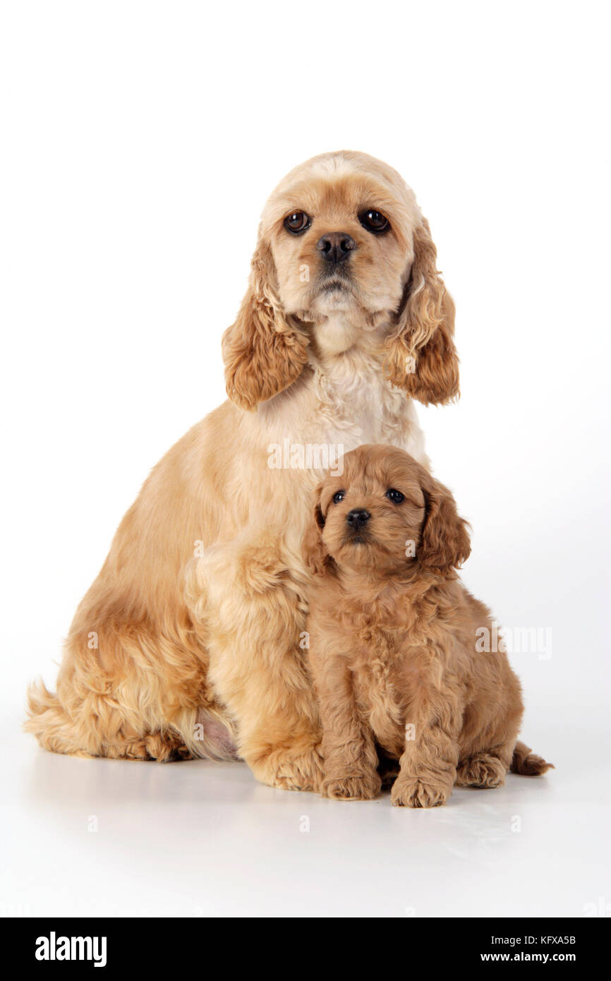Dog. Cockerpoo puppy (7 weeks old) with mother - Stock Image