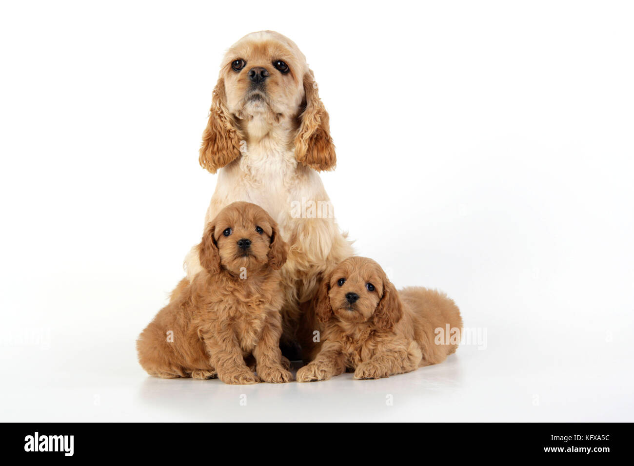 Dog. Cockerpoo puppies (7 weeks old) with mother - Stock Image